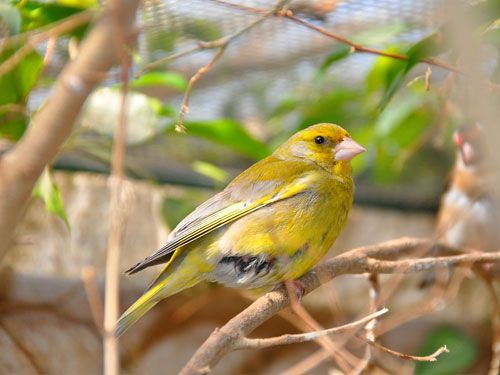 photo Levant greenfinch / <span class='cursive'>Chloris chloris chlorotica</span>
