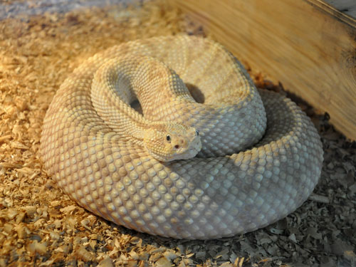 photo Middle American rattlesnake / <span class='cursive'>Crotalus simus</span>