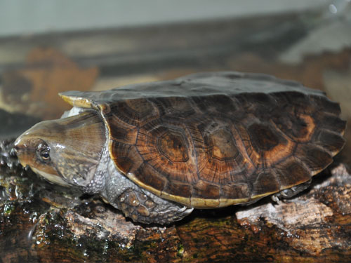 photo Big-headed turtle / <span class='cursive'>Platysternon megacephalum</span>