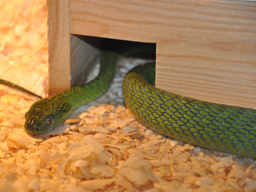 photo Green-eyed snake / <span class='cursive'>Boiga cyanea</span>
