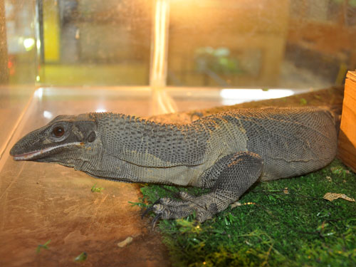 photo Rough-necked monitor / <span class='cursive'>Varanus rudicollis</span>