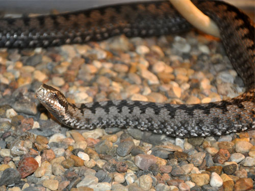 photo Common adder / <span class='cursive'>Vipera nikolskii</span>