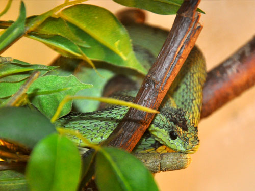 Great Lakes bush viper