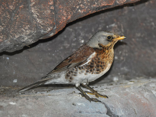 photo Fieldfare / <span class='cursive'>Turdus pilaris</span>