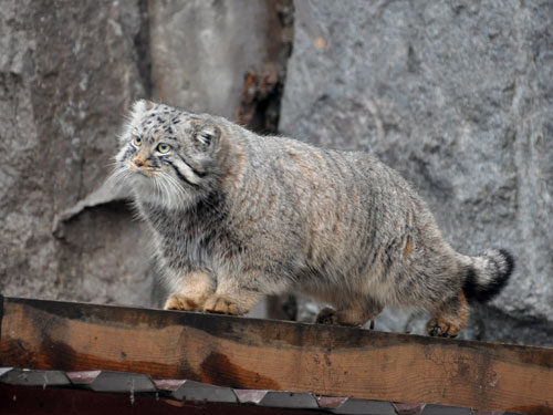 photo Pallas' cat / <span class='cursive'>Otocolobus manul</span>