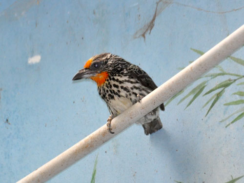 photo Capito niger / Black-spotted barbet
