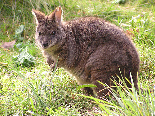 White-fronted wallaby