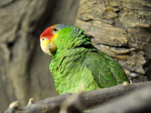 Green-cheeked amazon