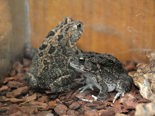 Light-nosed toad