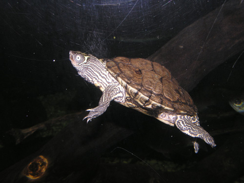 Mississippi map turtle