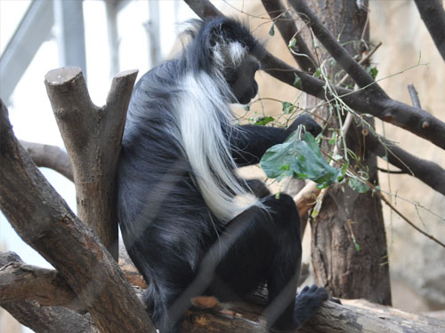 photo Black-and-white colobus / <span class='cursive'>Colobus angolensis palliates</span>