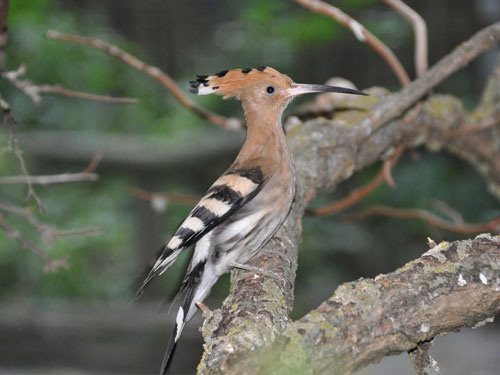 Common hoopoe