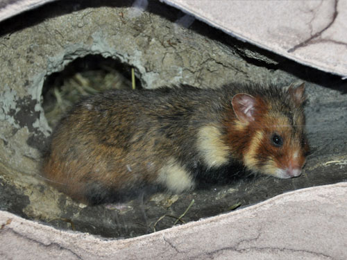 photo Common hamster / <span class='cursive'>Cricetus cricetus</span>