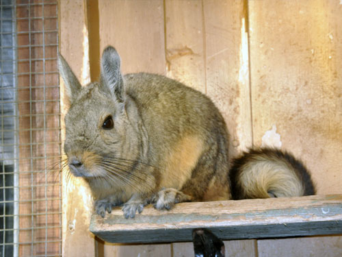 Nothern mountain viscacha