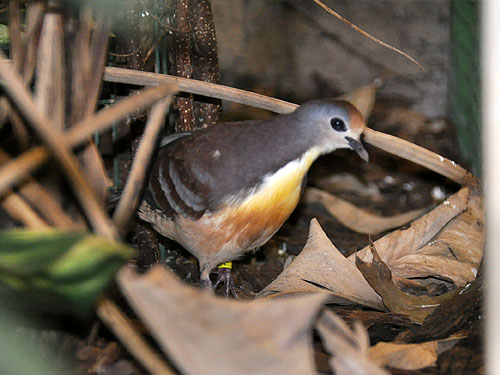 Red-throated ground dove