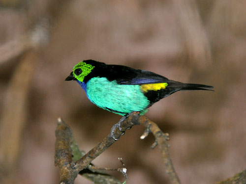 photo Paradise tanager / <span class='cursive'>Tangara chilensis</span>