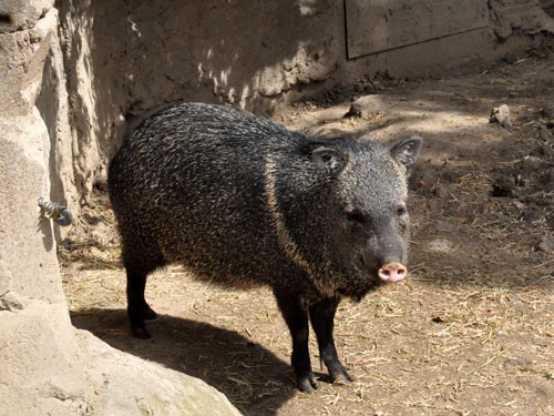 Mexican collared peccary