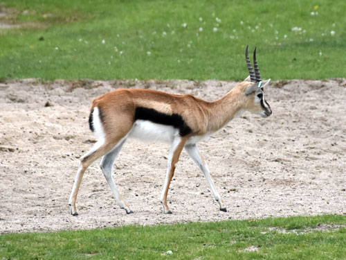 photo Thomson's gazelle / <span class='cursive'>Eudorcas thomsonii</span>