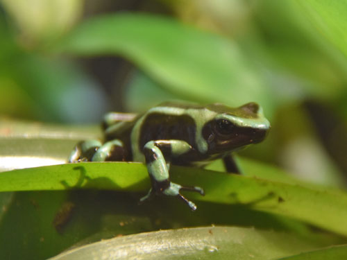 photo Green-and-black poison dart frog / <span class='cursive'>Dendrobates auratus</span>