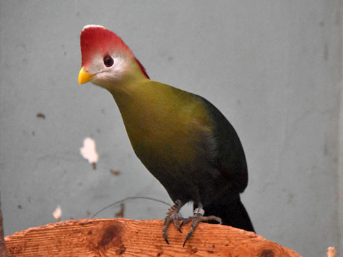 photo Red-crested turaco / <span class='cursive'>Tauraco erythrolophus</span>