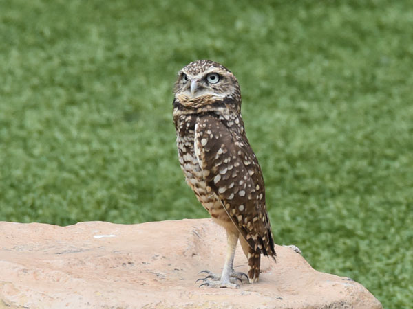photo Burrowing owl / <span class='cursive'>Athene cunicularia</span>