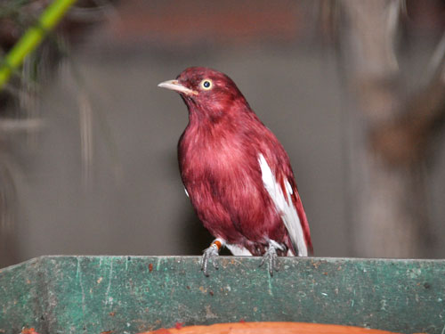 photo Pompadour cotinga / <span class='cursive'>Xipholena punicea</span>