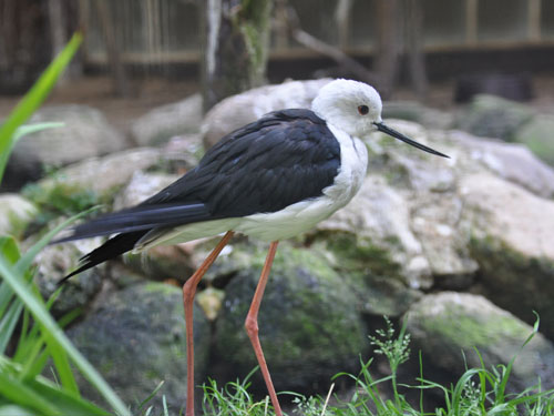 photo Black-winged stilt / <span class='cursive'>Himantopus himantopus</span>
