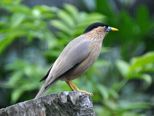 photo Brahminy mynah / <span class='cursive'>Sturnus pagodarum</span>