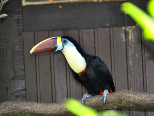 Eastern red-billed toucan