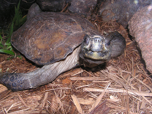Arakan forest turtle