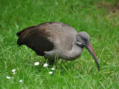 photo Hadada ibis / <span class='cursive'>Bostrychia hagedash</span>