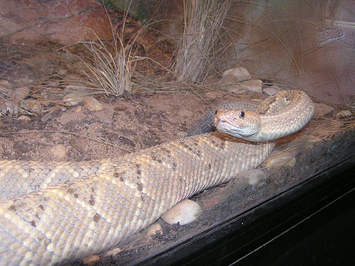 photo Crotalus durissus unicolor / Aruba Island rattlesnake