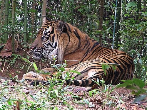 photo Sumatran tiger / <span class='cursive'>Panthera tigris sumatrae</span>