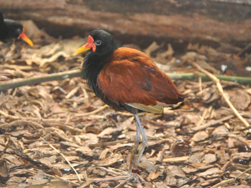 photo Wattled jacana / <span class='cursive'>Jacana jacana</span>