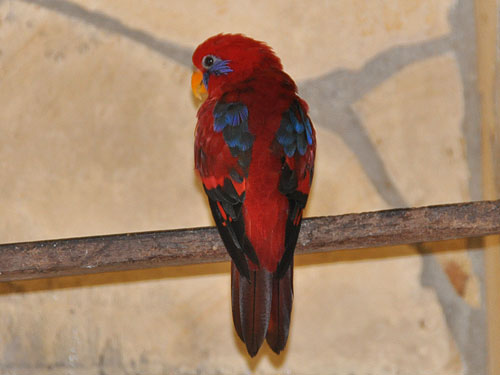 photo Blue-eared lory / <span class='cursive'>Eos semilarvata</span>