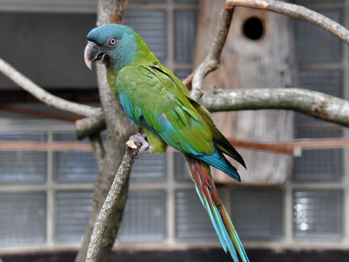 Blue-headed macaw
