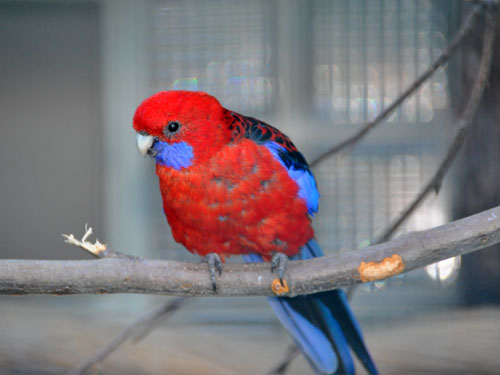 photo Crimson rosella / <span class='cursive'>Platycercus elegans</span>