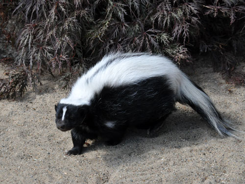 photo Mephitis mephitis / Striped skunk
