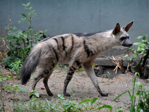 photo Proteles cristata / Aardwolf