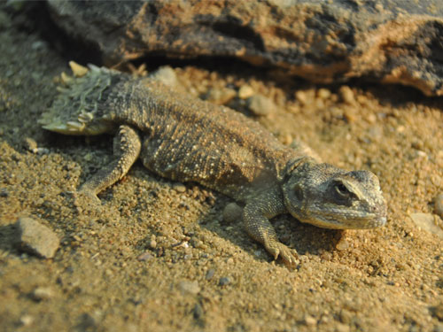 photo Xenagama taylori / Taylor's agama