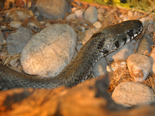 Large-headed water snake