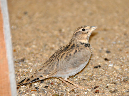 photo Calandra lark / <span class='cursive'>Melanocorypha calandra</span>