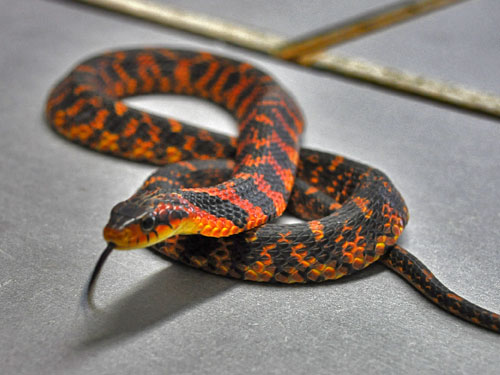 Big-eyed mountain keelback