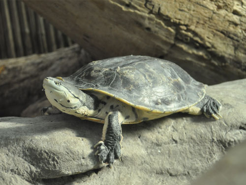 Spot-bellied side-necked turtle
