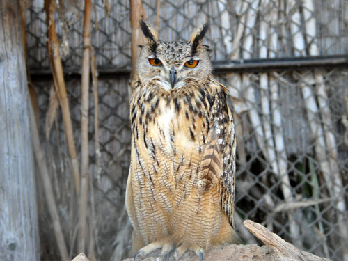 photo Aharoni's eagle owl / <span class='cursive'>Bubo bubo interpositus</span>