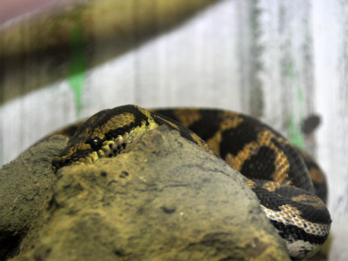 photo Carpet python / <span class='cursive'>Morelia spilota cheynei</span>