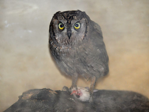 photo Common scops owl / <span class='cursive'>Otus scops</span>