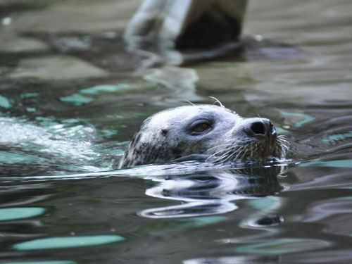 Eastern Atlantic harbor seal
