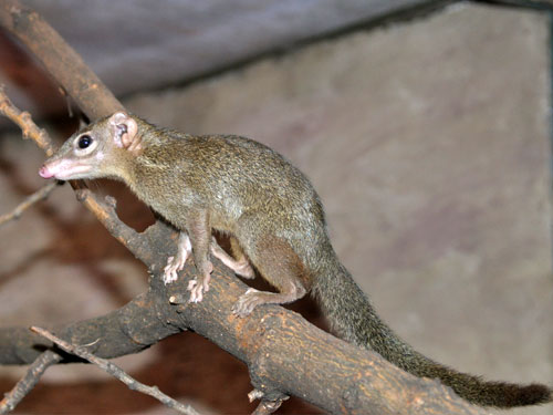 photo Northern tree shrew / <span class='cursive'>Tupaia belangeri</span>