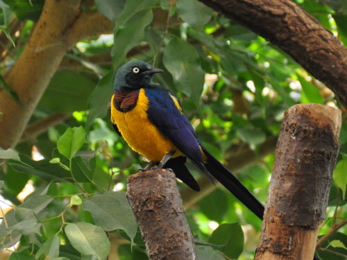 photo Golden-breasted starling / <span class='cursive'>Lamprotornis regius</span>